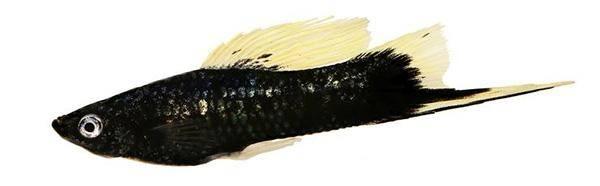 Черный меченосец
