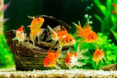 Лучшие аквариумные рыбки