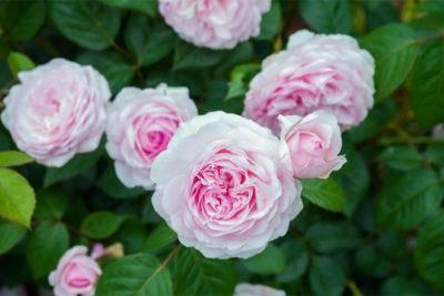 Лучшие сорта роз
