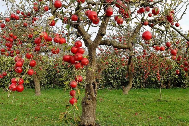 Лучшие сорта яблок для средней полосы