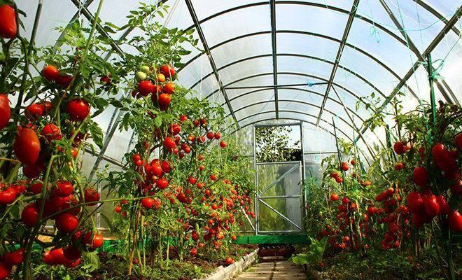 Лучшие-сорта-томатов-для-теплиц