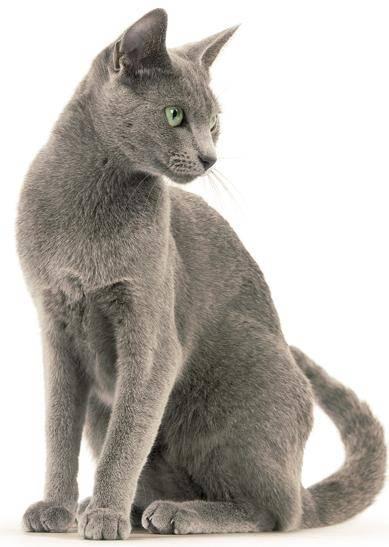 Рейтинг всех популярных пород кошек thumbnail